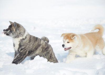 秋田犬交流處